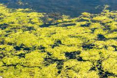 Green algae with bubbles Stock Photos