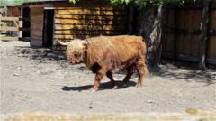 Scottish bull on a farm Stock Footage