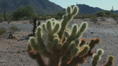 Zoom to close of Cholla cactus Stock Footage