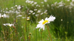 Ox Eye Daisy in boggy meadow Stock Footage