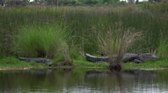 Two large American alligators along the shore - stock footage