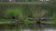 Stock Video Footage of Two large American alligators along the shore