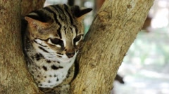 Bengal cat. Philippines. The island of Palawan. Stock Footage