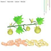 Solanum Stramonifolium Fruits with Vitamin C, B3 and Calcium - stock illustration