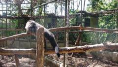 Palawan bear. Binturong. Philippines. The island of Palawan. Stock Footage