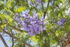 Jacaranda tree flowers - stock photo