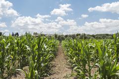 Corn crop growing Stock Photos
