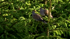 Turtledove - genus Streptopelia - sitting on a tree Stock Footage