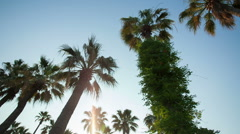 STEADICAM MOTION: Row of many palm trees against a blue sky Stock Footage