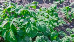 UHD 4K Growing potatoes field in organic agriculture in summer day Stock Footage