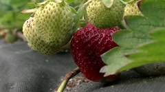 Picking strawberries Stock Footage
