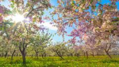 8K Blossoming apple orchard, time-lapse with crane Stock Footage