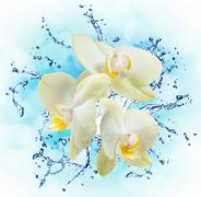 White orchids on the water splash Piirros