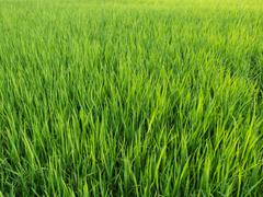 Green Color Rice Field Younger. Stock Photos