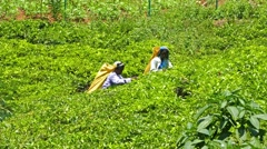 Women from Sri Lanka harvested tea leaves 4k Stock Footage