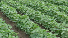 Agriculture soybean plant in field Stock Footage