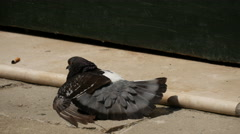 Pigeon drying his wings in the sun Stock Footage