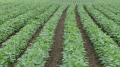 Agriculture,  soybean field in early summer Stock Footage