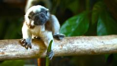 Cotton Top Tamarin Monkeys at the Zoo Stock Footage