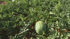 Watermelons loaded by migrant workers Stock Footage