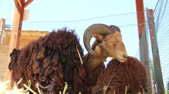 Stock Video Footage of Curly brown sheep