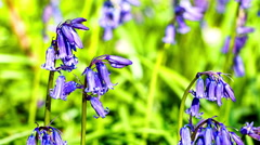Bluebells in spring forest, 4K Stock Footage