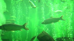 Tropical big fish in a freshwater aquarium Stock Footage