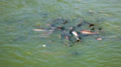 Catfish Swarming in a Pond Stock Footage