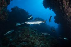 Tarpon Swimming on Caribbean Reef - stock photo