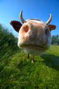 Amusing close-up cow's mug Stock Photos