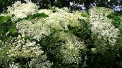 Elder flowers Stock Footage
