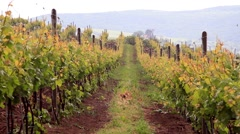 Rows of grapevines - stock footage