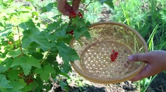 currant bush - stock footage