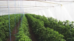 Stock Video Footage of Green house with tomatoes