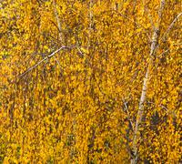 In an autumn birch park - stock photo