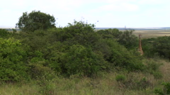 Wide shot of a lone giraffe in the wild Stock Footage