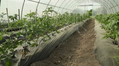 Young Tomato Plants in a Greenhouse Stock Footage