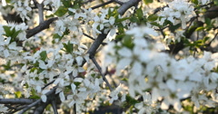 spring tree flowers blossom 4k - stock footage
