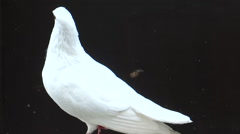White Pigeon - stock footage