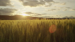 AERIAL SLOW MOTION: Young green wheat growing on sunny field at summer sunrise Stock Footage