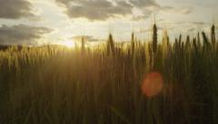 SLOW MOTION: Sun shinning through wheat blades on agricultural field at sunset - stock footage