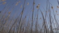 Wind blowing through reeds - stock footage