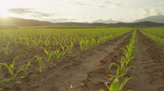 SLOW MOTION: Rows of young green maize on a big agricultural cornfield at sunset - stock footage