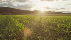SLOW MOTION CLOSE UP: Big field of young small maize growing at beautiful sunset - stock footage