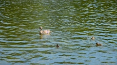 Mother duck with ducklings children swimming Stock Footage