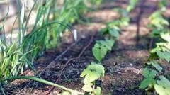 Early summer in urban vegetable garden. Stock Footage