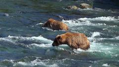 Two Bears Fishing - One Bear Dives & Catches Salmon Second Bear Misses Stock Footage