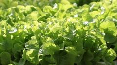 Lettuce butterhead Stock Footage
