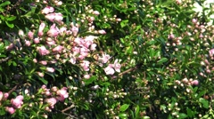 Close Up of a Shrub Filled With Flowers Blowing in the Wind Stock Footage