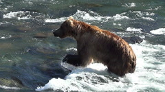 Brown Bear in Sun Walks Upstream in the Current Then Charges & Dives at a Fish Stock Footage